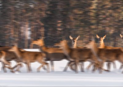 Three Noble Deer Stand Motionless Among The Running Herd In The